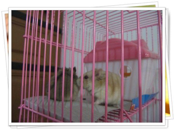 Memelihara Hamster Imut